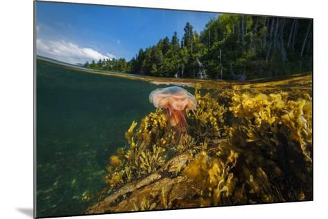 A Lion's Mane Jellyfish Drifts in the Shallows of Bonne Bay-David Doubilet-Mounted Photographic Print