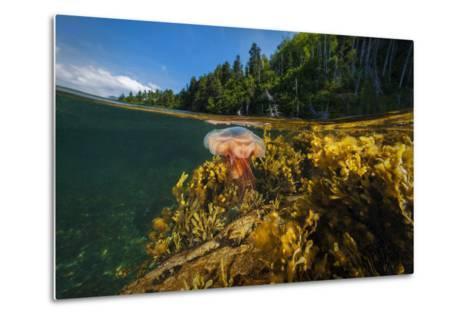 A Lion's Mane Jellyfish Drifts in the Shallows of Bonne Bay-David Doubilet-Metal Print