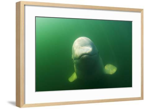 A Juvenile Beluga Whale Swims in Saguenay Saint Lawrence Marine Park-David Doubilet-Framed Art Print