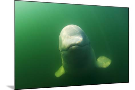 A Juvenile Beluga Whale Swims in Saguenay Saint Lawrence Marine Park-David Doubilet-Mounted Photographic Print