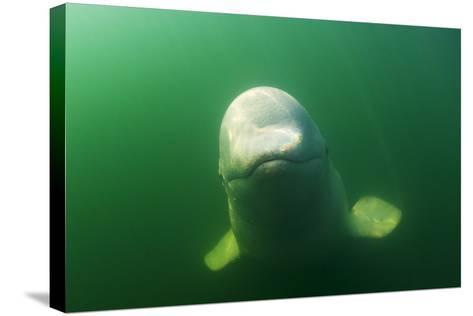 A Juvenile Beluga Whale Swims in Saguenay Saint Lawrence Marine Park-David Doubilet-Stretched Canvas Print