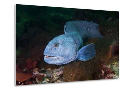 An Atlantic Wolffish Searches for a Mate in Newfoundland's Bonne Bay-David Doubilet-Metal Print