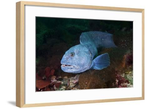 An Atlantic Wolffish Searches for a Mate in Newfoundland's Bonne Bay-David Doubilet-Framed Art Print