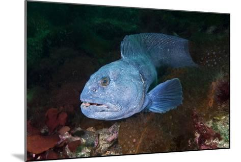 An Atlantic Wolffish Searches for a Mate in Newfoundland's Bonne Bay-David Doubilet-Mounted Photographic Print