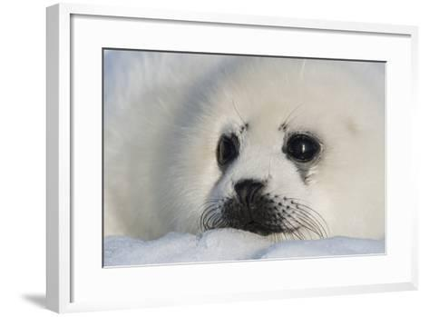A Harp Seal Pup Rests on a Greatly Diminished Ice Pack in the Gulf of Saint Lawrence-David Doubilet-Framed Art Print