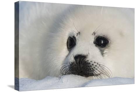 A Harp Seal Pup Rests on a Greatly Diminished Ice Pack in the Gulf of Saint Lawrence-David Doubilet-Stretched Canvas Print
