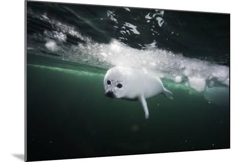 A Days Old Harp Seal Pup Learns to Swim in the Gulf of Saint Lawrence-David Doubilet-Mounted Photographic Print