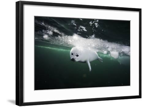 A Days Old Harp Seal Pup Learns to Swim in the Gulf of Saint Lawrence-David Doubilet-Framed Art Print