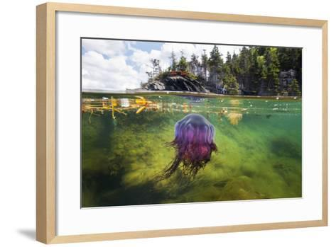 A Lion's Mane Jellyfish Drifts in the Shallows of Bonne Bay-David Doubilet-Framed Art Print