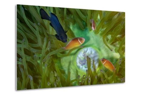 A Threespot Damselfish Swims Near a Trio of Pink Anemonefish in Papua New Guinea's Kimbe Bay-David Doubilet-Metal Print