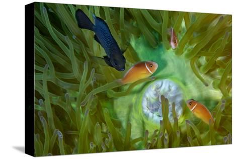 A Threespot Damselfish Swims Near a Trio of Pink Anemonefish in Papua New Guinea's Kimbe Bay-David Doubilet-Stretched Canvas Print