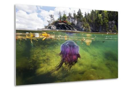 A Lion's Mane Jellyfish Drifts in the Shallows of Bonne Bay-David Doubilet-Metal Print