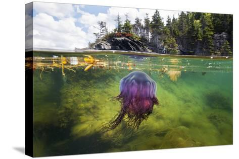 A Lion's Mane Jellyfish Drifts in the Shallows of Bonne Bay-David Doubilet-Stretched Canvas Print