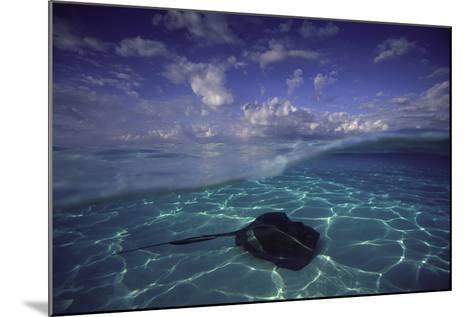 A Split Level View of a Southern Stingray Resting on the Sea Floor, with Puffy Clouds Overhead-David Doubilet-Mounted Photographic Print