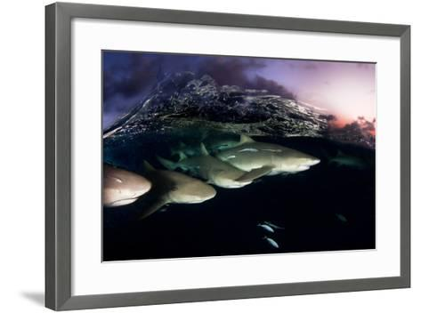 Lemon Sharks on Patrol at Sunset in the Bahama Banks-David Doubilet-Framed Art Print