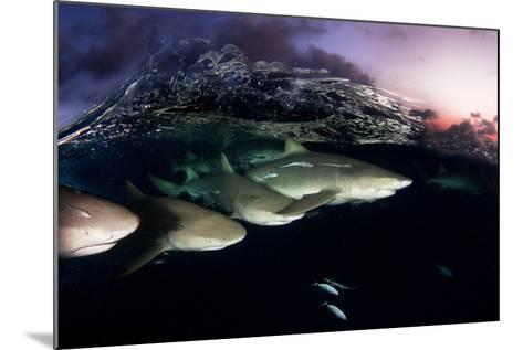 Lemon Sharks on Patrol at Sunset in the Bahama Banks-David Doubilet-Mounted Photographic Print