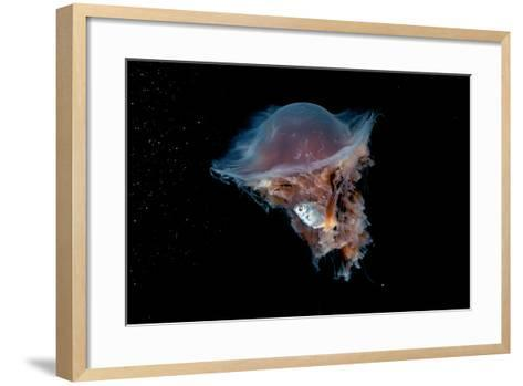Portrait of a Lion's Mane Jellyfish, Cyanea Capillata, with a Butterfish Caught in its Tentacles-David Doubilet-Framed Art Print