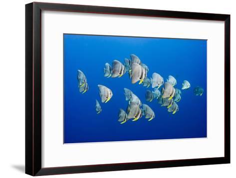 A Small School of Batfish Swim in Kimbe Bay's Jayne's Gulley-David Doubilet-Framed Art Print