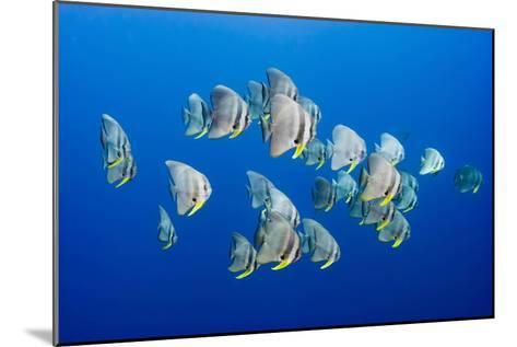 A Small School of Batfish Swim in Kimbe Bay's Jayne's Gulley-David Doubilet-Mounted Photographic Print