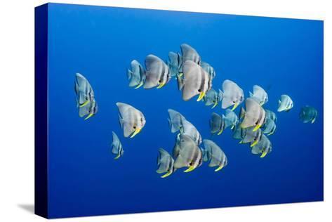 A Small School of Batfish Swim in Kimbe Bay's Jayne's Gulley-David Doubilet-Stretched Canvas Print