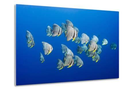 A Small School of Batfish Swim in Kimbe Bay's Jayne's Gulley-David Doubilet-Metal Print