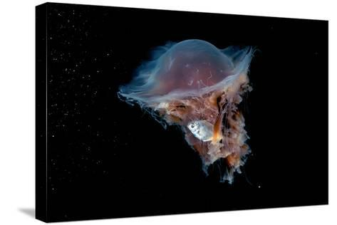 Portrait of a Lion's Mane Jellyfish, Cyanea Capillata, with a Butterfish Caught in its Tentacles-David Doubilet-Stretched Canvas Print