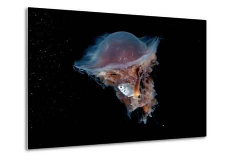 Portrait of a Lion's Mane Jellyfish, Cyanea Capillata, with a Butterfish Caught in its Tentacles-David Doubilet-Metal Print