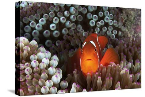 An Anemonefish Inside its Host Sea Anemone on Three Sisters Reef-David Doubilet-Stretched Canvas Print