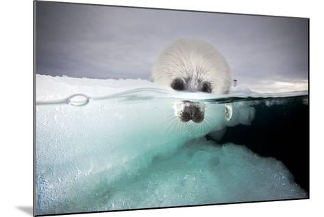 From a Greatly Diminished Ice Pack, a Harp Seal Pup Watches its Mother Swim Underwater-David Doubilet-Mounted Photographic Print