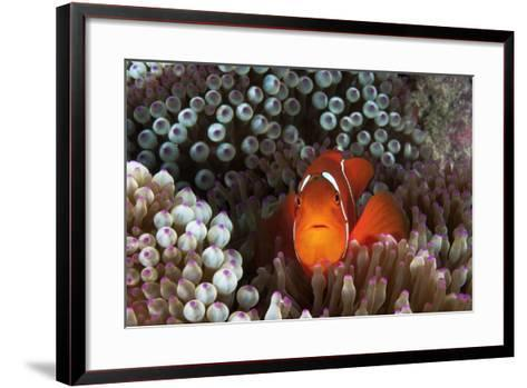 An Anemonefish Inside its Host Sea Anemone on Three Sisters Reef-David Doubilet-Framed Art Print