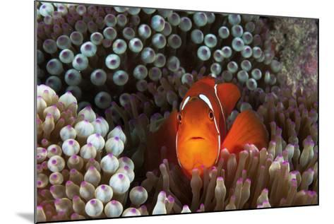 An Anemonefish Inside its Host Sea Anemone on Three Sisters Reef-David Doubilet-Mounted Photographic Print