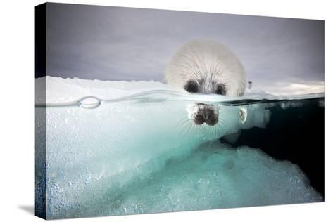 From a Greatly Diminished Ice Pack, a Harp Seal Pup Watches its Mother Swim Underwater-David Doubilet-Stretched Canvas Print