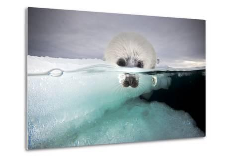 From a Greatly Diminished Ice Pack, a Harp Seal Pup Watches its Mother Swim Underwater-David Doubilet-Metal Print