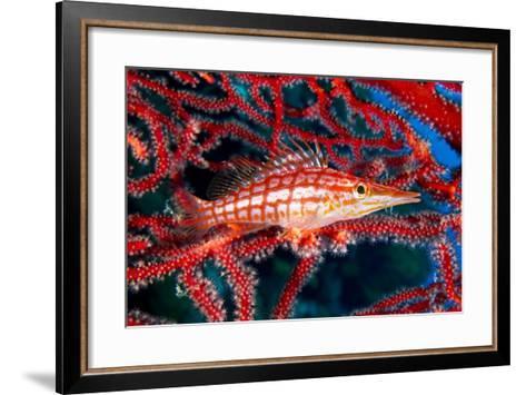 A Longnose Hawkfish in Gorgonian Coral on Ann Sophie's Reef in Kimbe Bay-David Doubilet-Framed Art Print