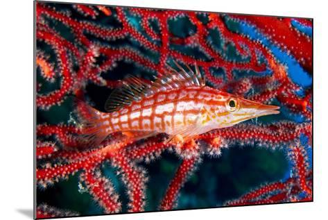 A Longnose Hawkfish in Gorgonian Coral on Ann Sophie's Reef in Kimbe Bay-David Doubilet-Mounted Photographic Print