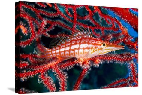 A Longnose Hawkfish in Gorgonian Coral on Ann Sophie's Reef in Kimbe Bay-David Doubilet-Stretched Canvas Print