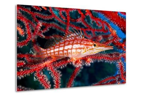 A Longnose Hawkfish in Gorgonian Coral on Ann Sophie's Reef in Kimbe Bay-David Doubilet-Metal Print