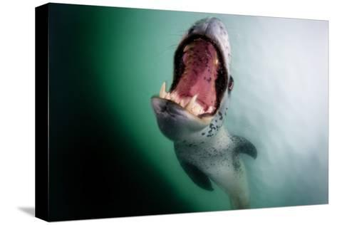 A Leopard Seal, Hydrurga Leptonyx, in the Iceberg Graveyard at Pleaneau Bay-David Doubilet-Stretched Canvas Print