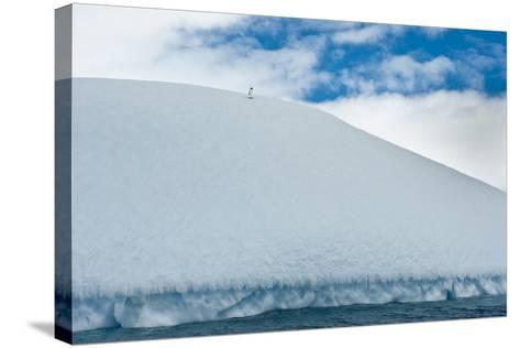 An Adelie Penguin, Pygoscelis Adeliae, Atop an Ice Hill at its Rookery-David Doubilet-Stretched Canvas Print