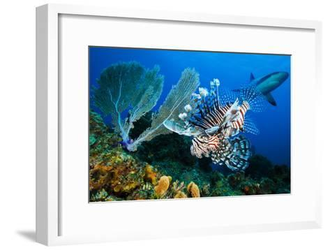 A Lemon Shark, Negaprion Brevirostris, on Patrol at Dusk over a Colorful Reef and Lionfish-David Doubilet-Framed Art Print