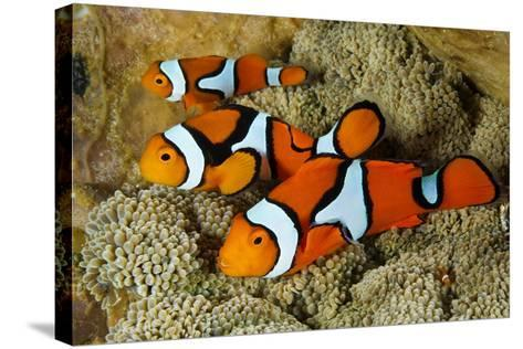 Clownfish Rest Inside their Host Anemone-David Doubilet-Stretched Canvas Print