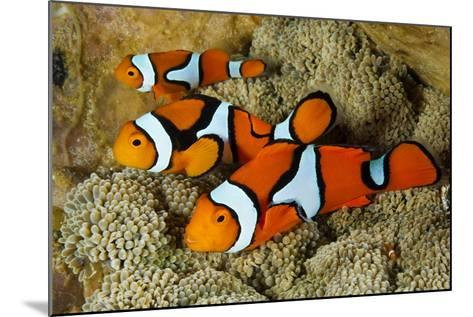 Clownfish Rest Inside their Host Anemone-David Doubilet-Mounted Photographic Print