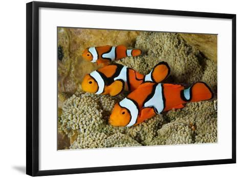 Clownfish Rest Inside their Host Anemone-David Doubilet-Framed Art Print