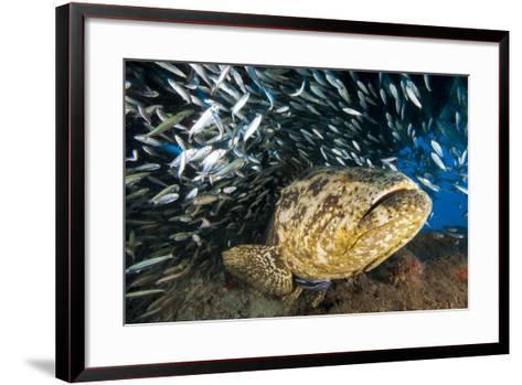 An Atlantic Goliath Grouper Swims Off the Esso Bonaire Shipwreck Artificial Reef-David Doubilet-Framed Art Print