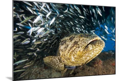 An Atlantic Goliath Grouper Swims Off the Esso Bonaire Shipwreck Artificial Reef-David Doubilet-Mounted Photographic Print