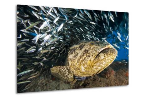 An Atlantic Goliath Grouper Swims Off the Esso Bonaire Shipwreck Artificial Reef-David Doubilet-Metal Print