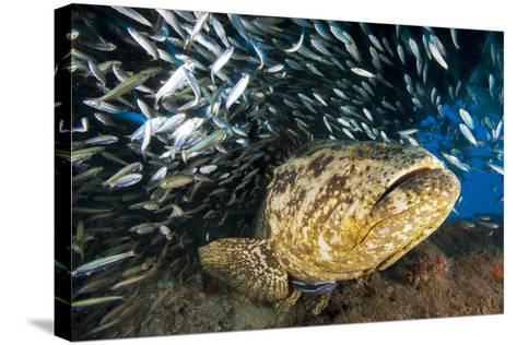 An Atlantic Goliath Grouper Swims Off the Esso Bonaire Shipwreck Artificial Reef-David Doubilet-Stretched Canvas Print