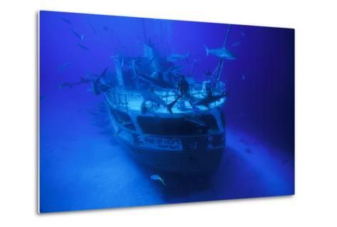 A Person on the Ray of Hope Shipwreck with Caribbean Reef Sharks, Carcharhinus Perezi, Circling-David Doubilet-Metal Print