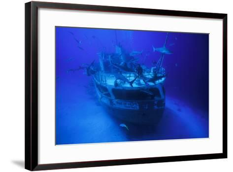 A Person on the Ray of Hope Shipwreck with Caribbean Reef Sharks, Carcharhinus Perezi, Circling-David Doubilet-Framed Art Print