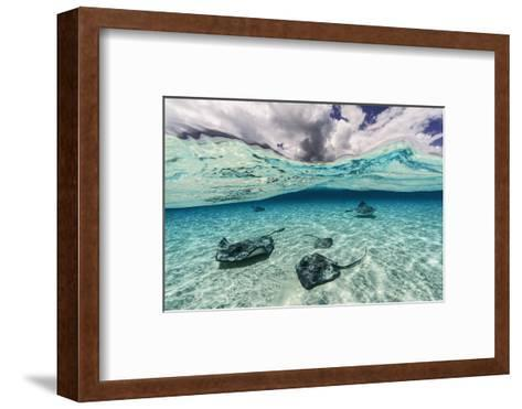 Southern Stingrays Swim across the Shallow White Sands Off Grand Cayman Island-David Doubilet-Framed Art Print